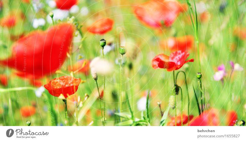 happy mo(h)nday! Natur Pflanze Frühling Sommer Schönes Wetter Blume Gras Blatt Blüte Wildpflanze Mohn Blütenknospen Garten Park Wiese Feld Blühend Duft verblüht