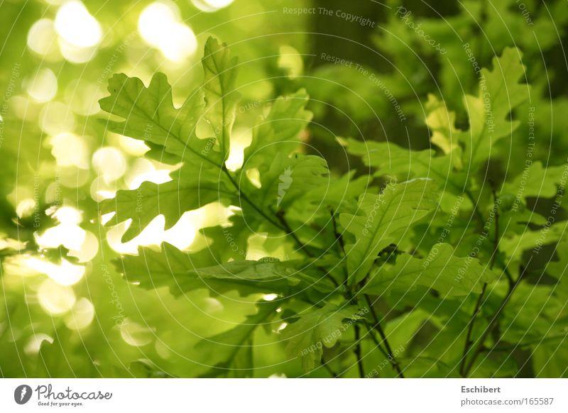 Waldlichter Freizeit & Hobby Sommer Natur Pflanze Schönes Wetter Blatt Grünpflanze Freundlichkeit frisch hell nah natürlich positiv Sauberkeit schön Wärme weich