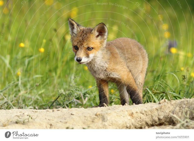 niedliches kleines Fuchsjunges Glück Gesicht Baby Jugendliche Natur Tier Gras Pelzmantel Hund Tierjunges natürlich wild braun grün rot weiß Tierwelt Schamlippen