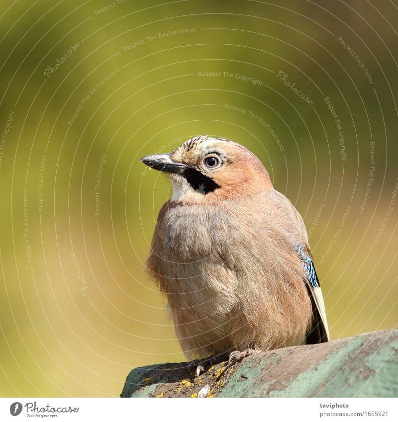 schöner eurasischer Eichelhäher Natur blau Farbe weiß Tier Wald Umwelt Leben Herbst braun Vogel wild elegant Feder Europa