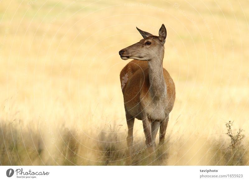 Rotwild Doe in einer Lichtung schön Jagd Frau Erwachsene Umwelt Natur Tier Herbst Gras Wiese Wald natürlich braun rot Farbe Hirsche Bleßwild Hirschkuh Wade