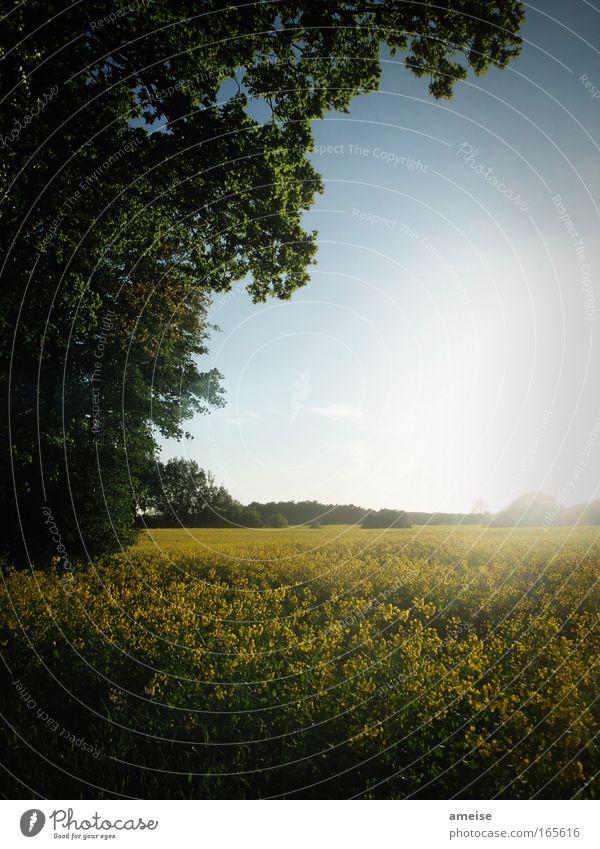 Raps in der Sonne [pt. 2] grün schön Baum Pflanze ruhig schwarz gelb Landschaft Frühling Feld Romantik Wolkenloser Himmel Frühlingsgefühle Nutzpflanze
