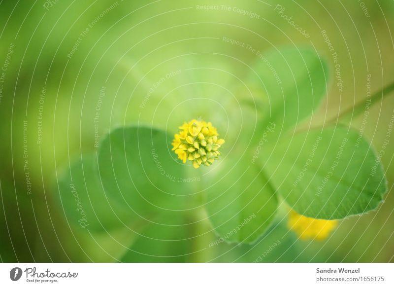 Klee Pflanze Blatt Blüte Grünpflanze Nutzpflanze Wildpflanze Kleeblatt positiv Glück ruhig Zufriedenheit Blütenknospen gelb Wiesenblume Farbfoto Außenaufnahme