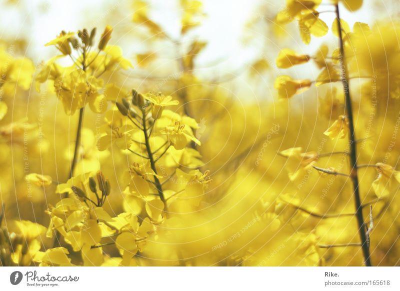 Versunken in Gelb. Farbfoto Außenaufnahme Tag Umwelt Natur Pflanze Sonne Frühling Sommer Schönes Wetter Blüte Nutzpflanze Raps Wiese Feld Blühend Duft leuchten