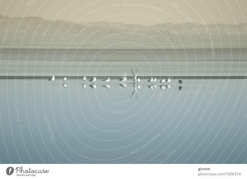 Vogelschwarm am Saltonsee Natur blau Wasser Landschaft ruhig Tier Berge u. Gebirge gelb See Tiergruppe Seeufer Möwe Schwarm Kalifornien Graureiher