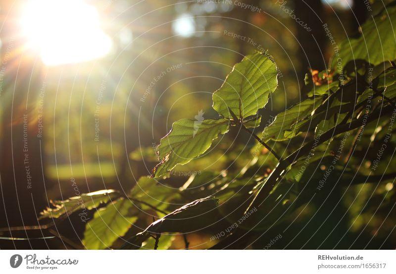 Laubsonne Umwelt Natur Pflanze Sommer Baum Blatt Grünpflanze Wald leuchten nachhaltig natürlich grün Verantwortung achtsam Erholung Umweltschutz Buche