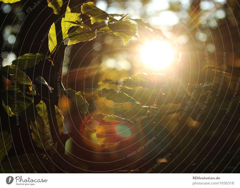 Buche im Sonnenlicht Umwelt Natur Sommer Baum Blatt Wald leuchten nachhaltig natürlich schön gold grün Gefühle Stimmung Verantwortung achtsam Zufriedenheit