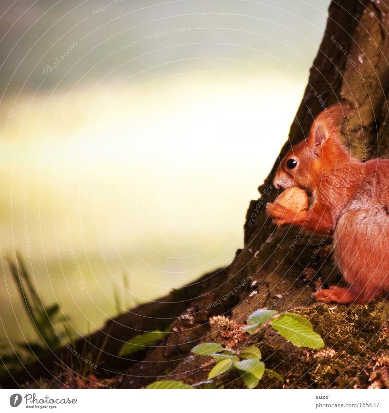 Nussknacker Umwelt Natur Pflanze Tier Frühling Sommer Schönes Wetter Baum Wiese Wildtier Eichhörnchen 1 beobachten Fressen klein niedlich rot Tierliebe