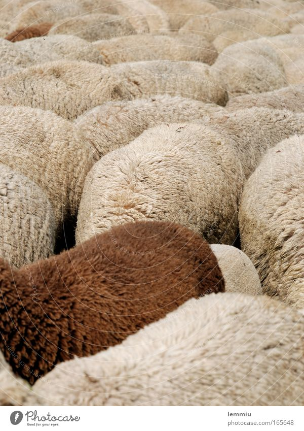 Schafherde Farbfoto Gedeckte Farben Außenaufnahme Menschenleer Tag Zentralperspektive Tierporträt Ganzkörperaufnahme Blick nach unten Natur Nutztier Fell