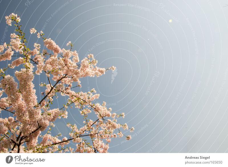 Dresdner Kirschblüte Natur Himmel weiß Baum blau Pflanze Blüte Frühling Landschaft hell rosa frisch Blühend Duft Schönes Wetter Kirschblüten