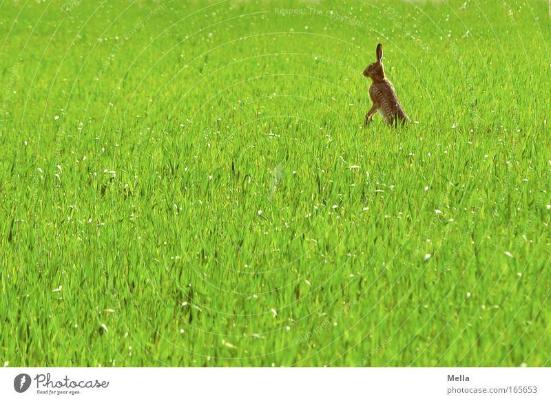 Hasen im Rasen! Natur grün Pflanze Tier Frühling Freiheit Feld Umwelt Ostern stehen beobachten natürlich Fell Neugier Wildtier niedlich