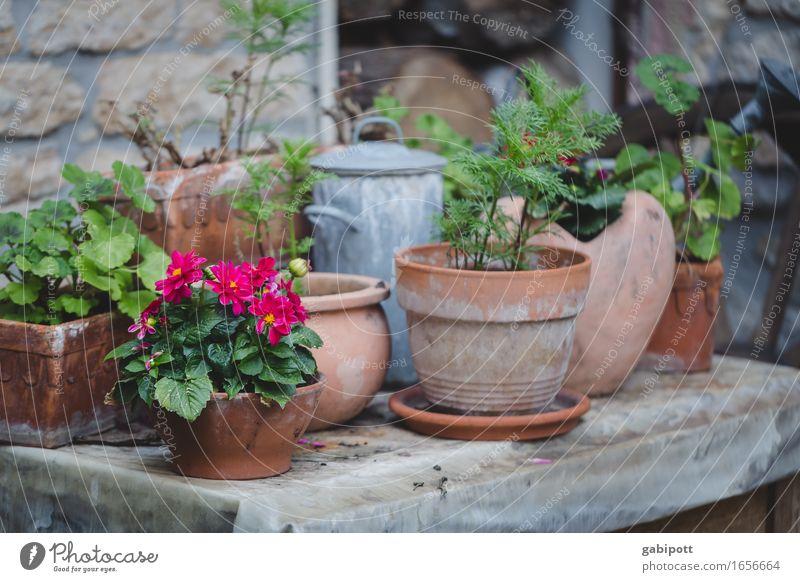Landleben Hochzeit Natur Landschaft Sommer Wetter Pflanze Blume Blüte Blumentopf Garten Haus Mauer Wand Blühend Duft Häusliches Leben einfach Freundlichkeit