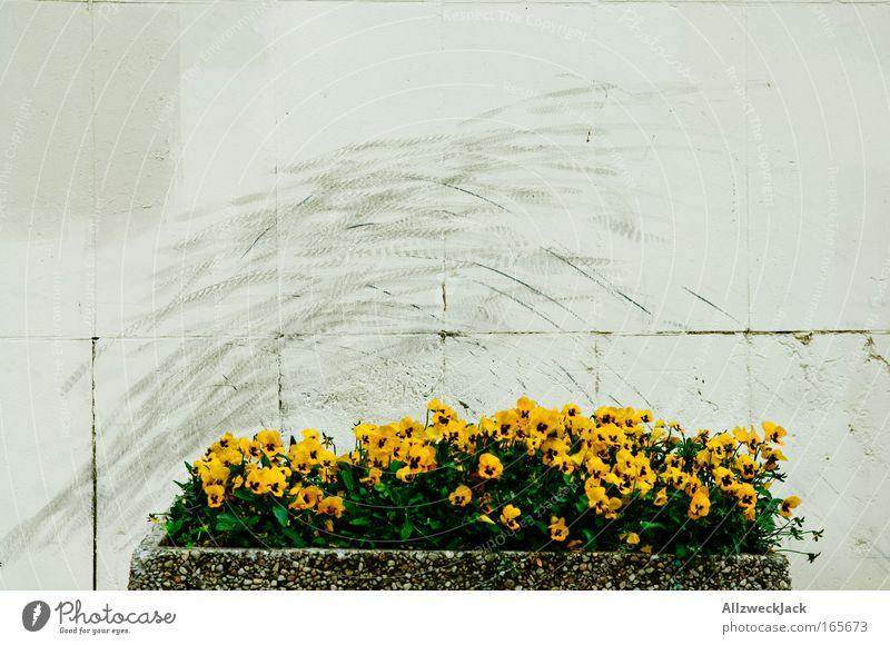 Wallride Blume Haus Wand Wege & Pfade Bewegung Mauer Kultur trashig BMX Stunt Blumenkasten Stiefmütterchen Wallride