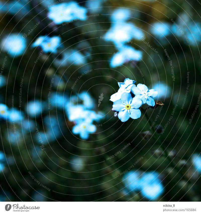 Vergiss mein nicht Natur schön Blume grün blau Pflanze Einsamkeit gelb Gefühle Blüte Frühling Glück träumen Park Zufriedenheit Umwelt