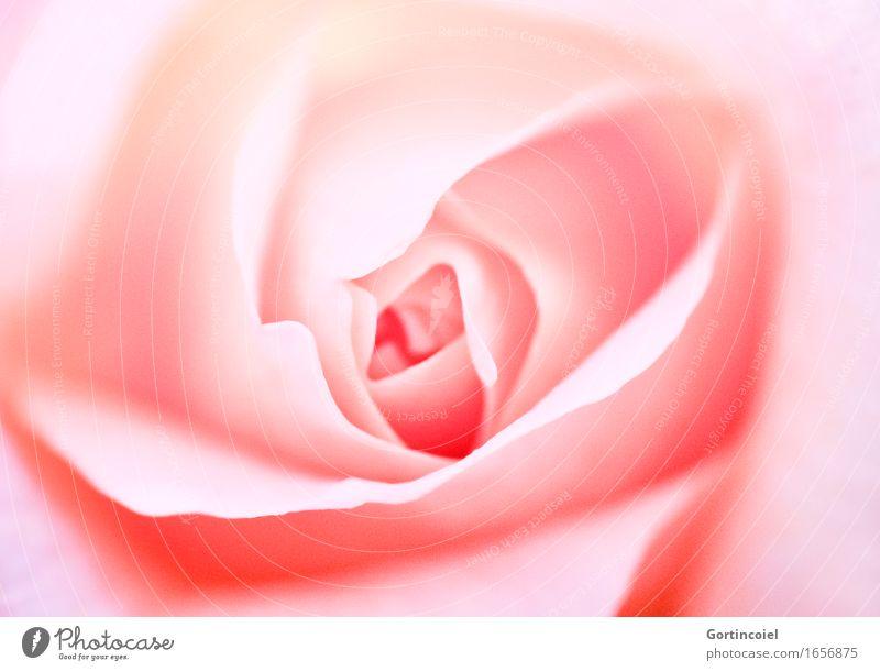 Gül Pflanze schön Sommer Blume Blüte Frühling rosa Dekoration & Verzierung weich Rose Blütenblatt Rosenblätter Rosenblüte