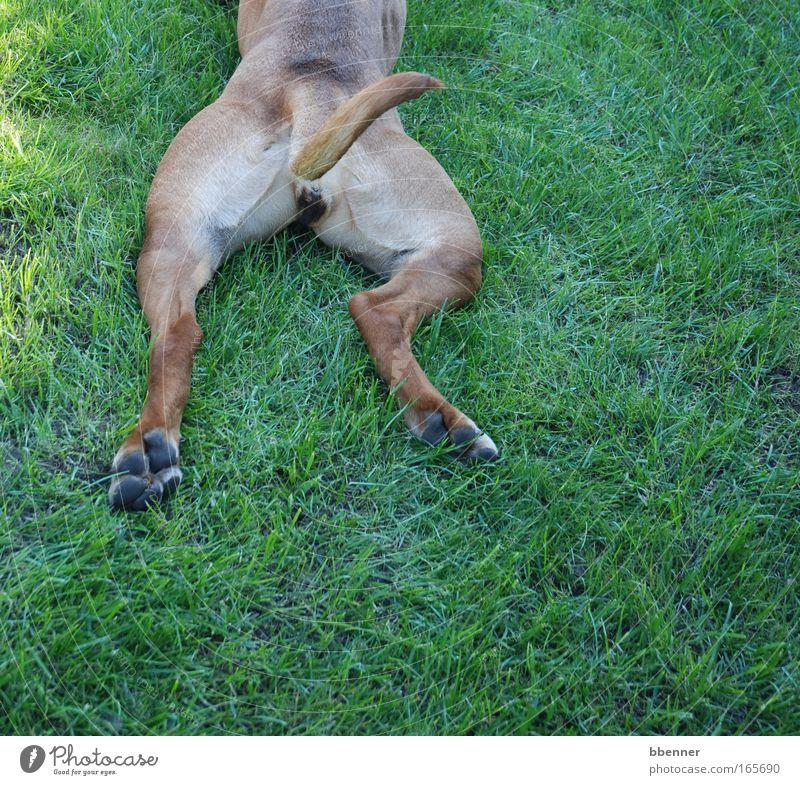 Fauler Hund Farbfoto Außenaufnahme Sonnenlicht Freude Zufriedenheit Erholung ruhig Meditation Natur Sommer Garten Park Wiese Tier Haustier Fell Pfote 1 liegen