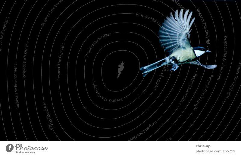 Fliegender Vogel, Kohlmeise Farbfoto Hintergrund neutral Dämmerung Kontrast Tierporträt Freiheit Natur Luft Wildtier Flügel 1 Bewegung fliegen ästhetisch gelb