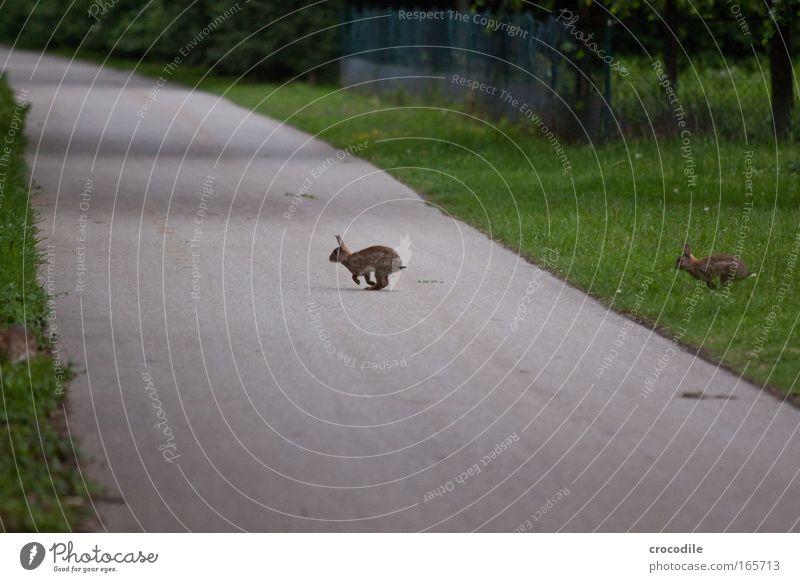 Haserl Natur Freude Tier Umwelt Wiese Angst Wildtier gefährlich Fell rennen Verkehrswege Stress Hase & Kaninchen atmen Pfote Fußgänger