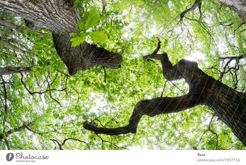 Eichenwald Umwelt Natur Landschaft Pflanze Himmel Sonnenlicht Frühling Sommer Schönes Wetter Baumstamm Blätterdach Zweige u. Äste Ast Wald hell natürlich wild