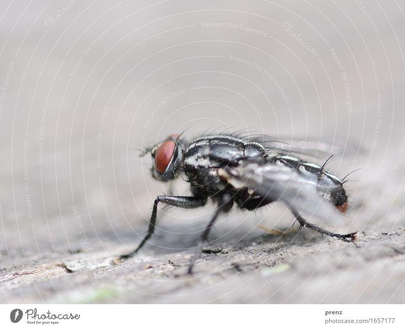 Fliege auf Holz Umwelt Natur Tier Frühling Sommer Wildtier 1 sitzen grau Insekt Facettenauge Farbfoto Außenaufnahme Nahaufnahme Makroaufnahme Menschenleer
