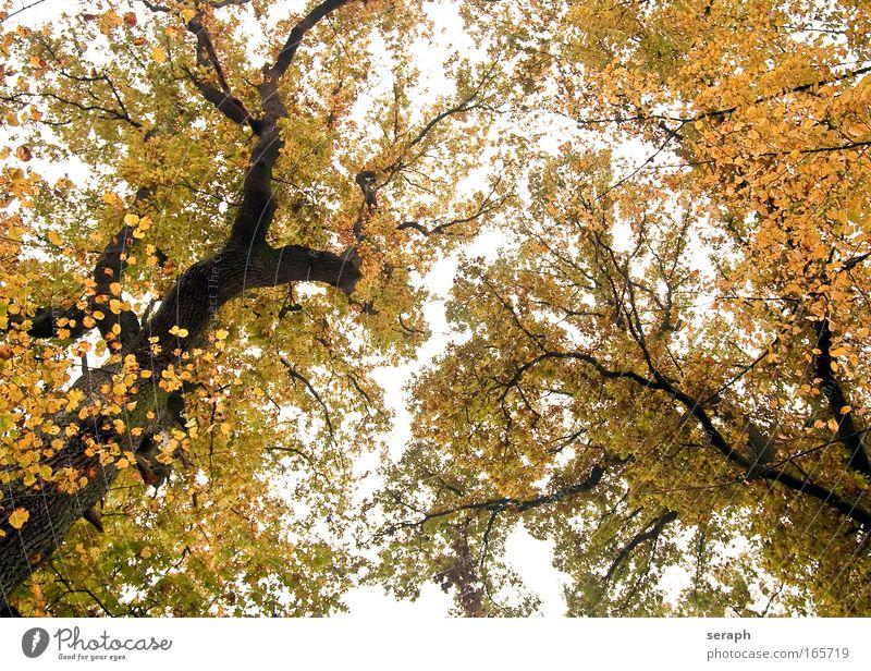 Blätterdächer Baum Blatt trunk crown of tree Wald Kruste Holz bark dendritic alt Stimmungsbild pflanzlich antik Wachstum canopy oak Märchen Phantasie verzweigt