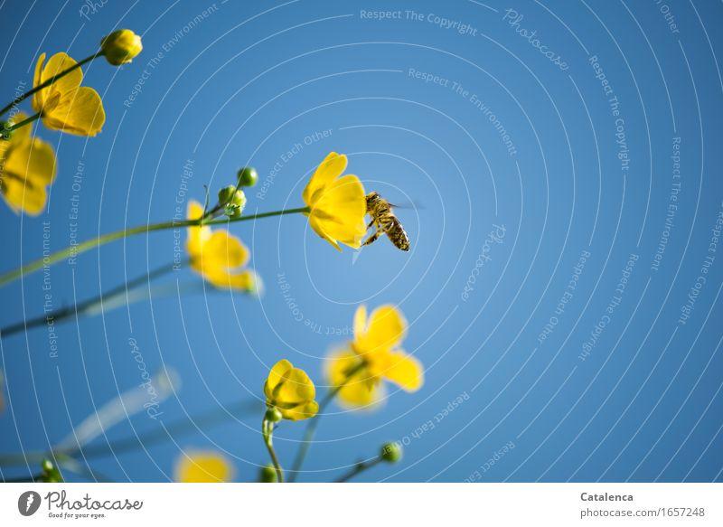 Und die Bienen umherflogen Natur Pflanze Himmel Sommer Schönes Wetter Blume Blüte Sumpf-Dotterblumen Wiese Nutztier Wildtier Insekt 1 Tier