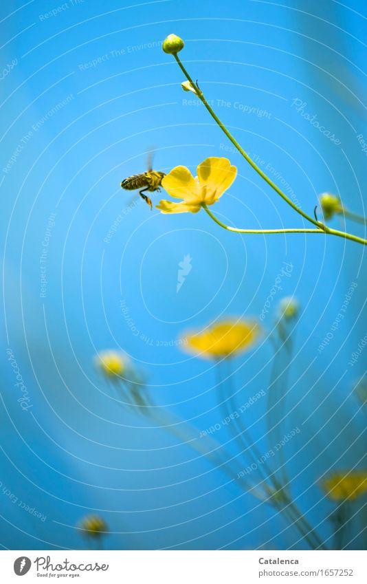 Da liebte ich den Sommer Natur Pflanze Tier Himmel Schönes Wetter Blume Blüte Sumpf-Dotterblumen Wiese Nutztier Wildtier Biene Insekt 1