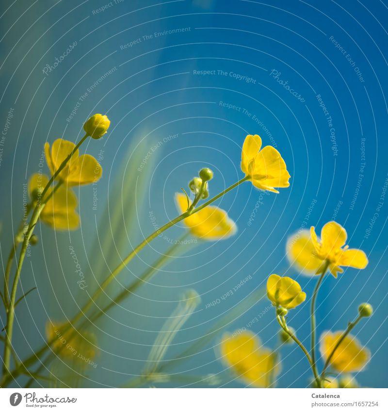 Als der Himmel noch blau war Natur Pflanze Sommer Schönes Wetter Blume Blüte Sumpf-Dotterblumen Wiese Blühend verblüht Wachstum ästhetisch schön gelb grün