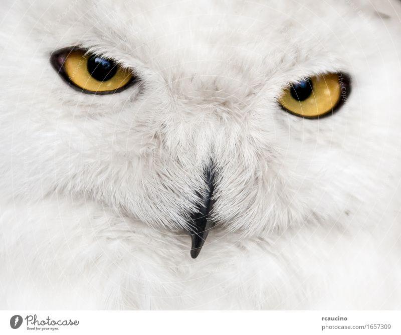 Nahaufnahme der Schneeeule Gesicht Vogel gelb weiß Waldohreule Bubo Strigidae Auge orange Maul Wildtier Porträt