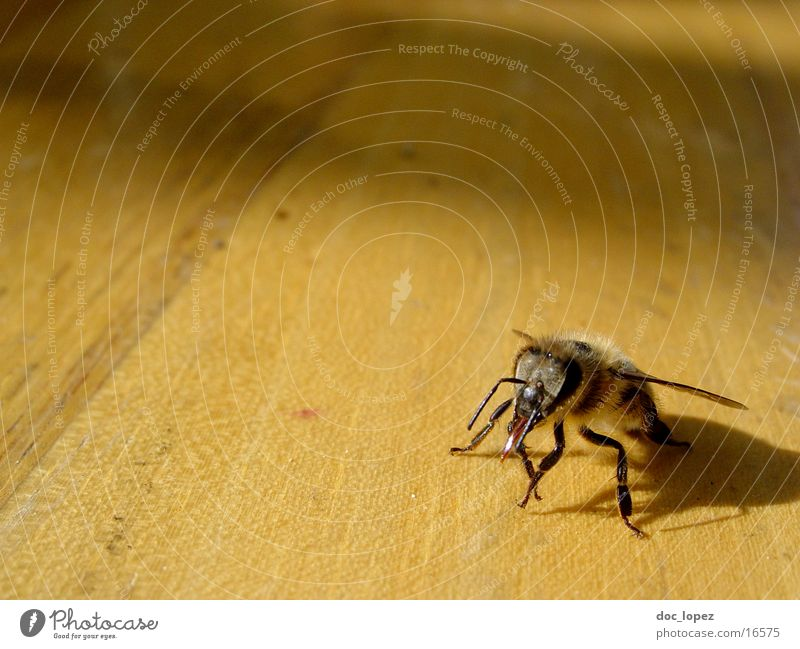 die_kleine_maja_2 Natur Holz hell Perspektive Flügel Insekt Biene Imker Maja