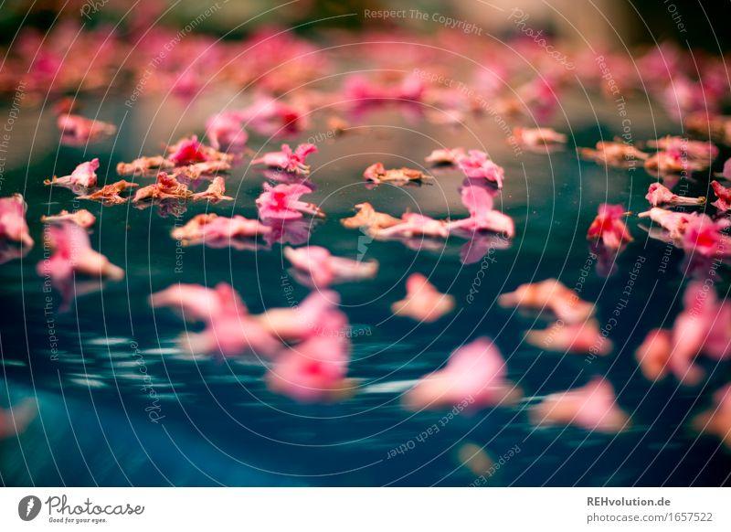 AST 9 | Blütenzauber2 Umwelt Natur Blume liegen außergewöhnlich schön blau rosa Stimmung Farbfoto Außenaufnahme Makroaufnahme Reflexion & Spiegelung Unschärfe