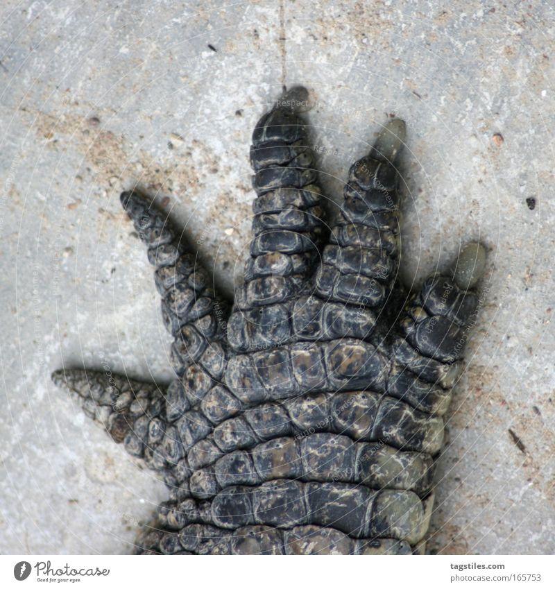 HIGH FIVE JETZ', NE?! Krokodil Hand High Five Hände schütteln einschlagen abklatschen Alligator Leder Pfote Tier Reptil Vertrauen Textfreiraum oben