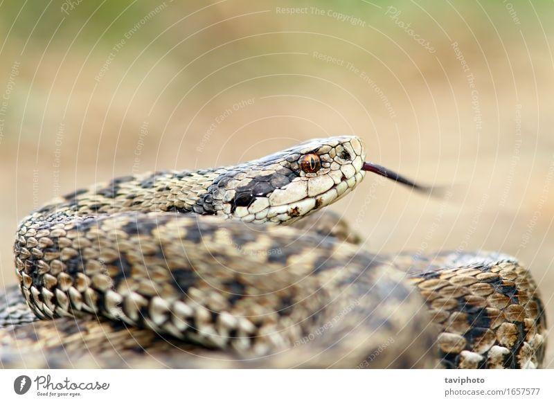 Natur schön Tier Wiese braun wild Angst Europa gefährlich Boden Lebewesen Europäer Gift Schlange Reptil Schrecken