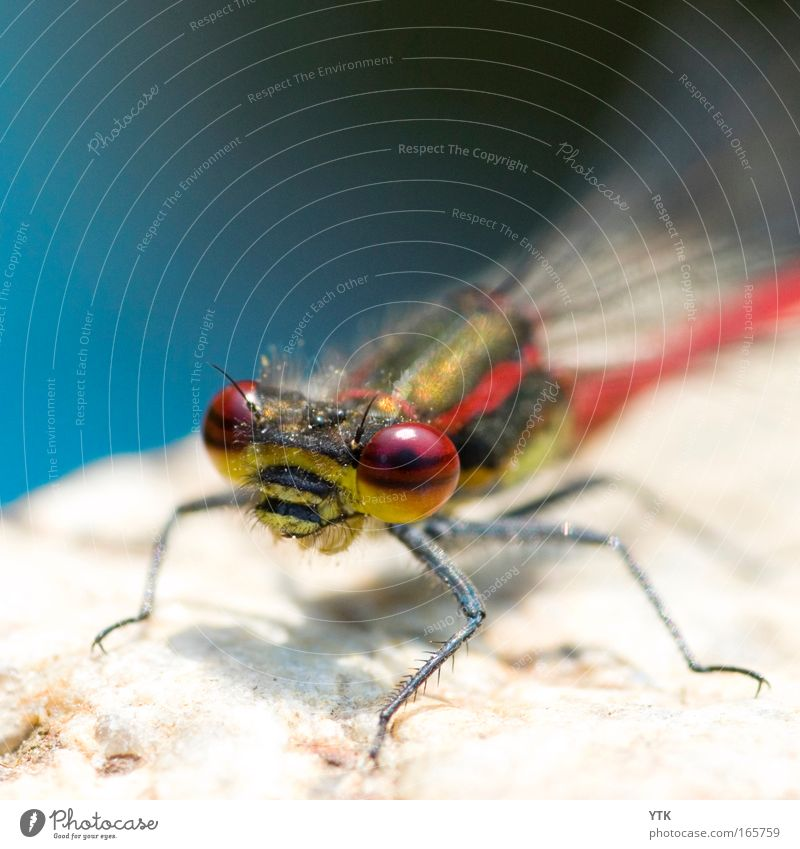 I'm watching you... Natur blau rot Tier Umwelt Auge Leben Bewegung Stein fliegen warten ästhetisch Flügel beobachten Neugier Tiergesicht