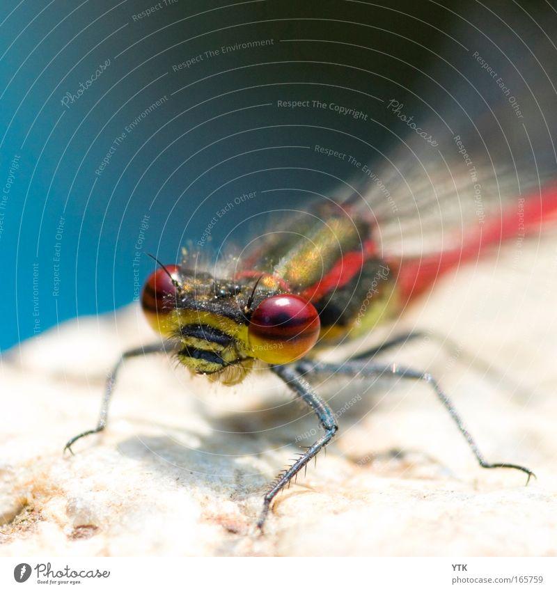 I'm watching you... Natur Tier Teich Tiergesicht Flügel Libelle Stein fliegen Jagd krabbeln warten ästhetisch exotisch Neugier blau rot Wachsamkeit Leben