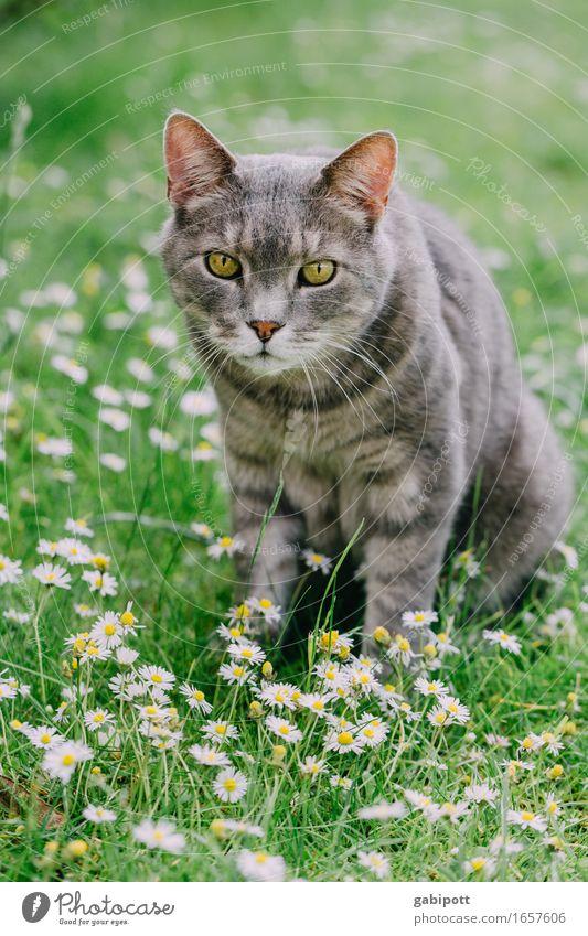 Mr. Kater im Sommerglück ... Natur Landschaft Schönes Wetter Blume Gras Garten Wiese Tier Haustier Katze 1 beobachten sitzen Freundlichkeit schön kuschlig