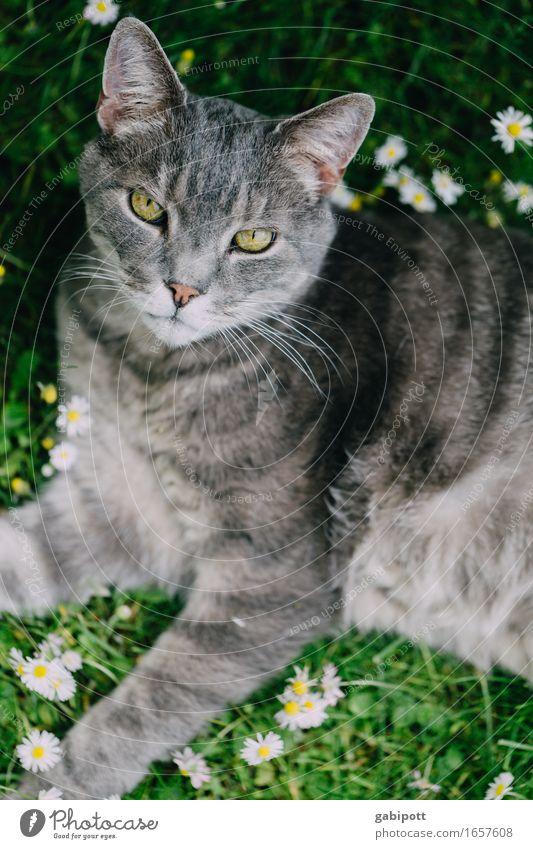flauschig | Mr. Oberflausch Katze Natur Sommer grün Blume Erholung Tier Frühling Wiese natürlich Glück grau Häusliches Leben Zufriedenheit liegen Idylle