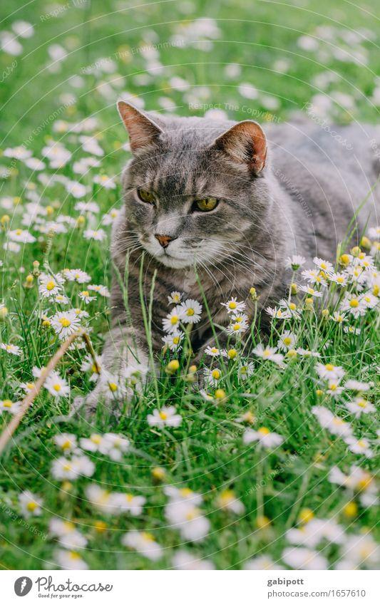 lazy sunday Sommer Schönes Wetter Pflanze Gras Gänseblümchen Garten Park Wiese Tier Haustier Nutztier Katze 1 Duft liegen Freundlichkeit kuschlig positiv grün