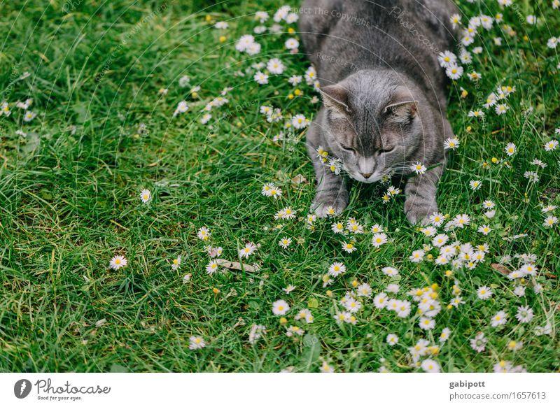 Kater im Glück Katze Natur Pflanze grün Sommer Blume Erholung Tier Leben Frühling Wiese natürlich grau Zufriedenheit liegen