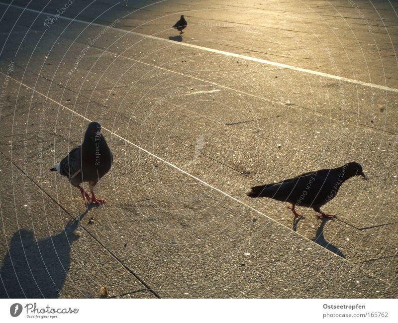 Abendspaziergang Tier Wildtier Vogel Taube 3 braun grau schwarz Zufriedenheit Optimismus Zusammensein Gelassenheit ruhig Traurigkeit Abendsonne Farbfoto