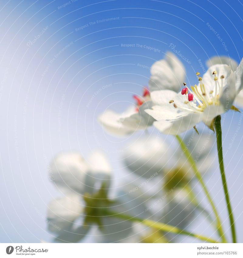 blütentraum II Pflanze Himmel Wolken Frühling Schönes Wetter Blüte Blühend Duft schön weich blau grün rosa weiß Frühlingsgefühle Leben Wachstum