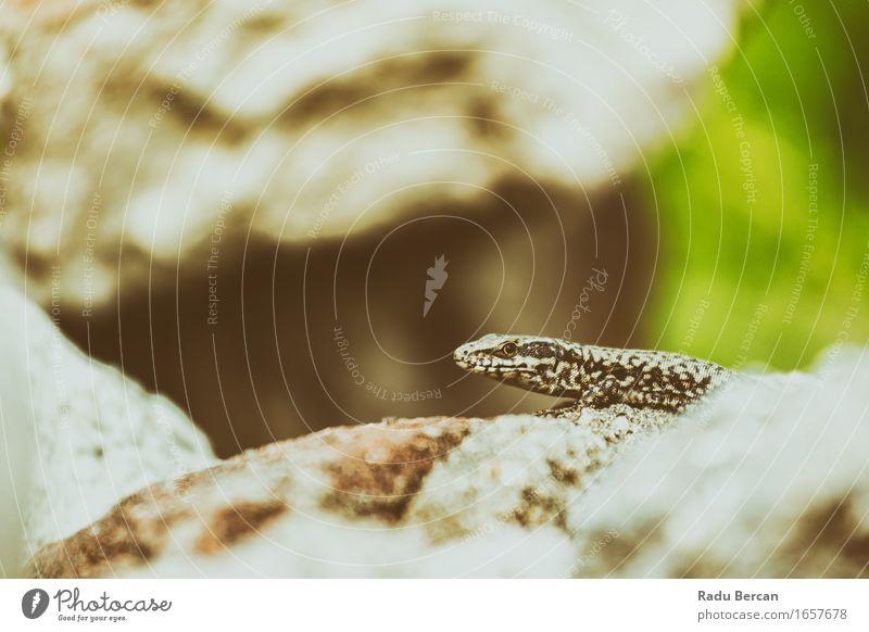 Kleine Steineidechse Natur Tier Wildtier Tiergesicht 1 entdecken klein nah braun grau grün Reptil Echte Eidechsen Gecko wild Wildnis Farbfoto Gedeckte Farben