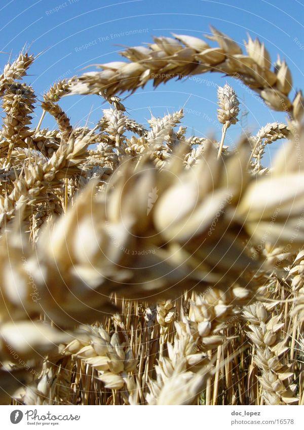 euer_Aehren_1 Himmel blau Landschaft Feld Perspektive Mitte Landwirtschaft Korn Kornfeld beige Weizen Ähren