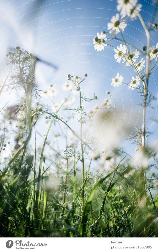 AST9 | Pause in der Wiese Umwelt Natur Pflanze Wolkenloser Himmel Sonnenlicht Sommer Schönes Wetter Wärme Blume Gras Blüte Grünpflanze Blühend Wachstum Duft