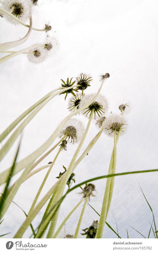 Pusteblumenbäume Natur weiß Pflanze Sommer Wiese hoch fantastisch gigantisch