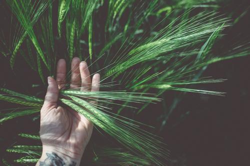 AST9   Korn liegt auf der Hand Mensch Natur Pflanze Sommer schön grün Leben Feld lernen Finger Schönes Wetter berühren festhalten entdecken Tattoo
