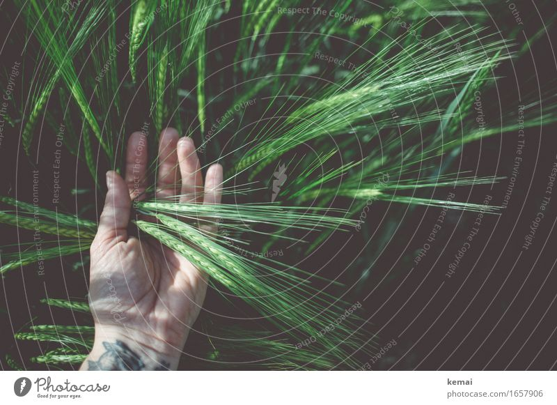 AST9 | Korn liegt auf der Hand Sommer Mensch Leben Finger Natur Pflanze Schönes Wetter Nutzpflanze Gerste Gerstenfeld Getreide Feld entdecken festhalten lernen