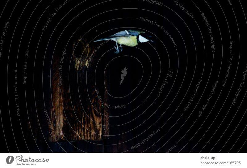 Fliegender Vogel, Kohlmeise Natur schön Tier schwarz dunkel Freiheit Bewegung springen Luft elegant fliegen Wildtier frei Geschwindigkeit Flügel