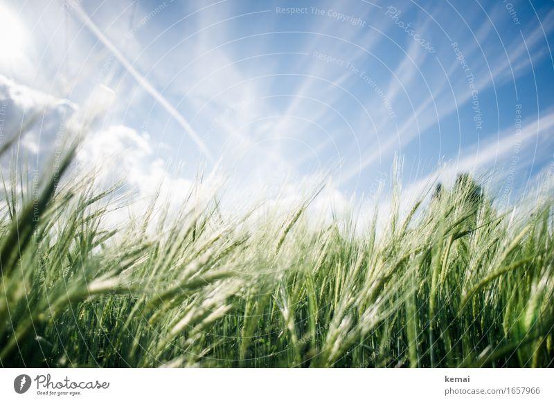 AST9 | Sommerfeld Umwelt Natur Pflanze Himmel Wolken Sonnenlicht Schönes Wetter Wärme Nutzpflanze Gerste Gerstenfeld Gerstenähre Kornfeld Getreide Getreidefeld