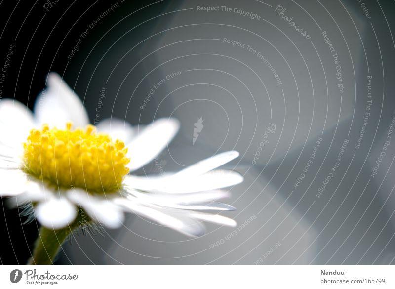 Ein Blümeli Natur schön weiß Blume Pflanze Sommer gelb Blüte Frühling grau klein Umwelt ästhetisch Sauberkeit Vergänglichkeit zart